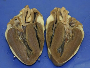 Internal anatomy of a sheep heart thinglink ccuart Choice Image