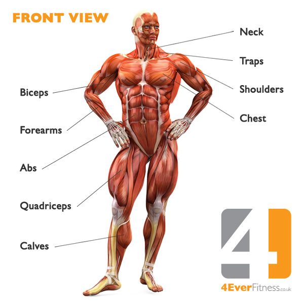 The Human Body Muscular System