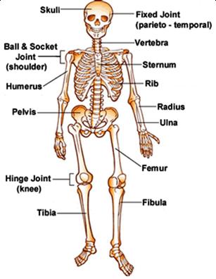 Group 5 129 102 105 Skeletal System - Lessons - Tes Teach