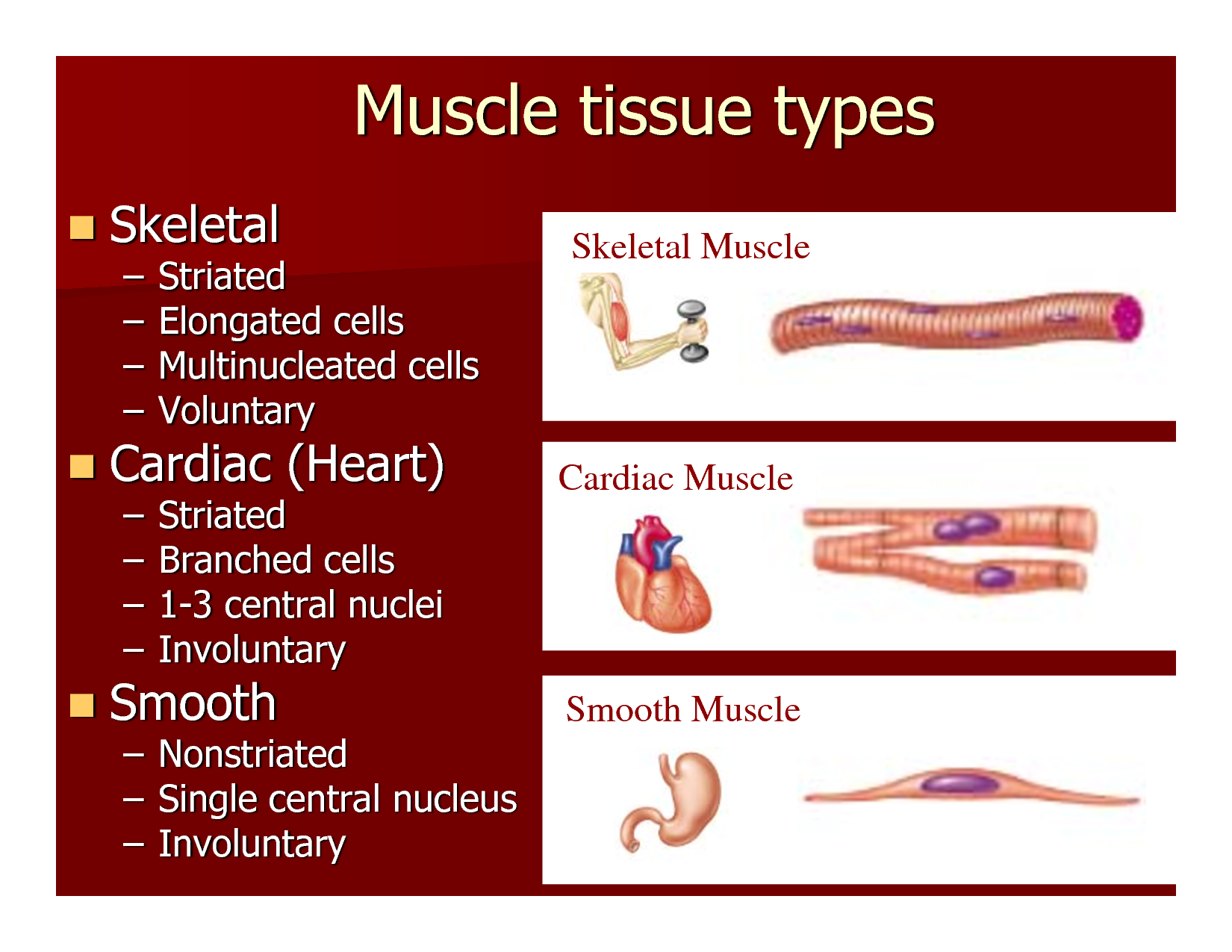 skeletal tissue; skeletal muscle is the most abundant tis