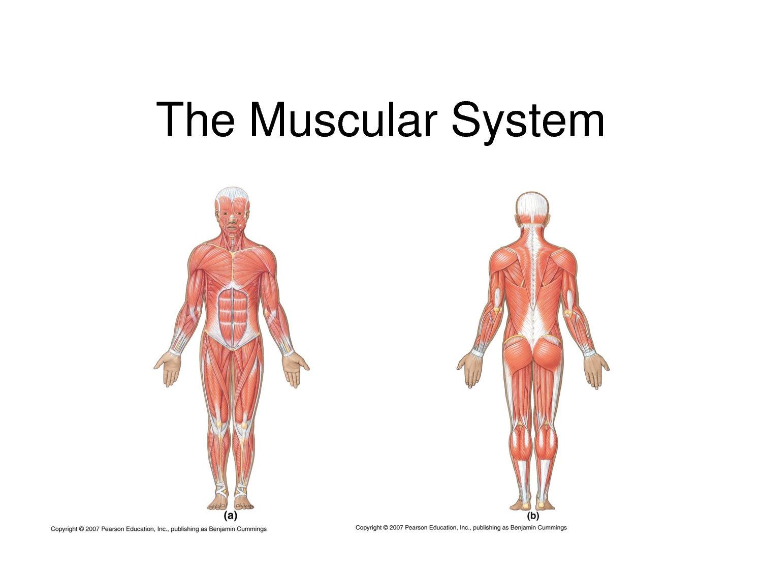 the muscular system Synonyms for muscular at thesauruscom with free online thesaurus, antonyms, and definitions find descriptive alternatives for muscular.
