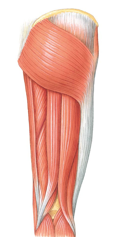 Posterior Thigh Muscle Anatomy Thinglink