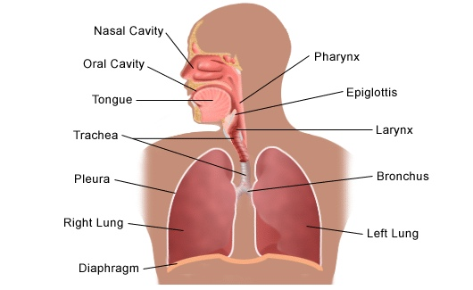 Science Project: Human Body Respiratory System