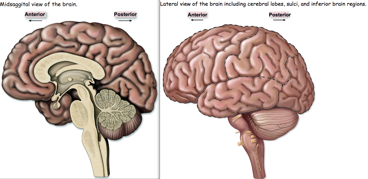 Cerebellum Located At The Back Of The Brain This Part C