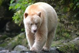 Touching Spirit Bear Thinglink - ThingLink