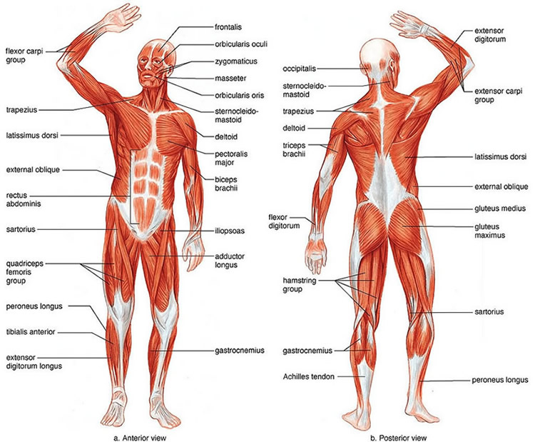 muscular system - thinglink, Human body