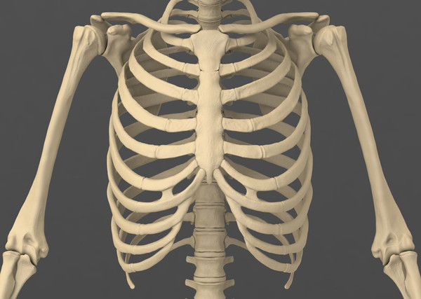 rib cage - thinglink, Skeleton
