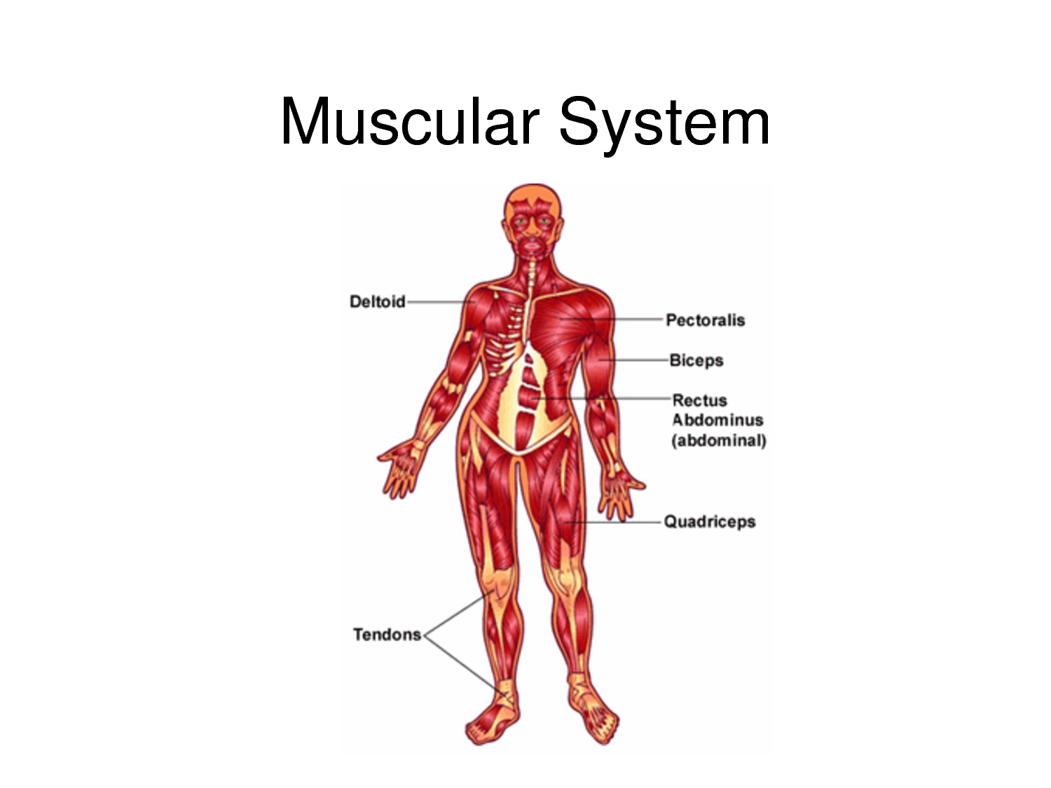 Muscular System Parts For Kids : www.galleryhip.com - The ...