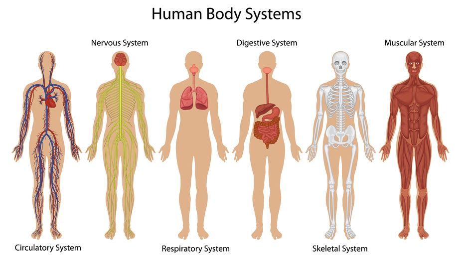 Biology Human Body Systems Thinglink